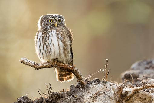 Animals Hunting「Eurasian pygmy owl (Glaucidium passerinum)」:スマホ壁紙(4)