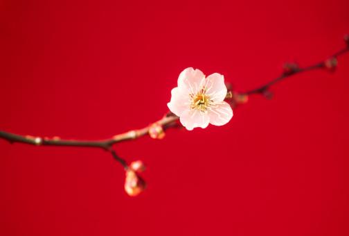 梅の花「梅の花」:スマホ壁紙(5)