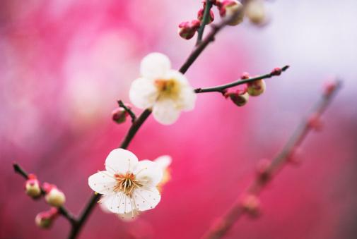 梅の花「梅の花」:スマホ壁紙(18)