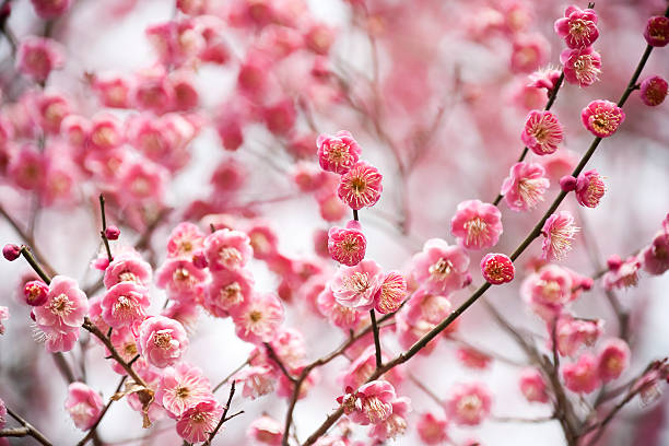 Plum Blossoms :スマホ壁紙(壁紙.com)