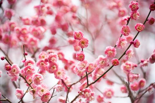 梅「梅の花」:スマホ壁紙(16)