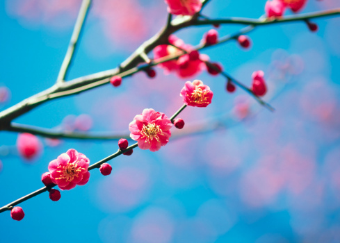 Bud「Plum blossoms 」:スマホ壁紙(10)