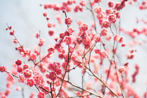 梅の花「梅の花」:スマホ壁紙(10)