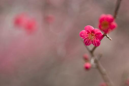 梅の花「梅の花」:スマホ壁紙(0)