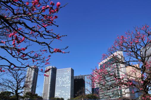Shiodome「Plum blossoms and skyscrapers, Shiodome, Chuo Ward, Tokyo Prefecture, Honshu, Japan」:スマホ壁紙(12)