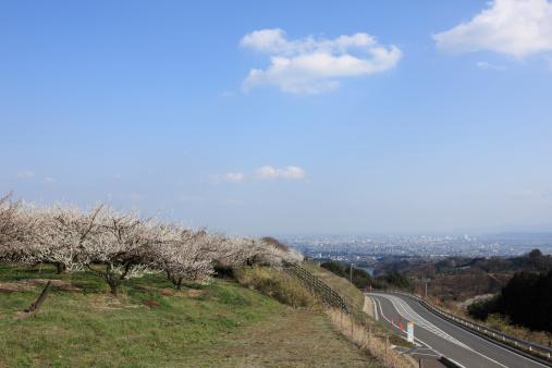 梅の花「Plum Blossom Trees near Motorway」:スマホ壁紙(14)