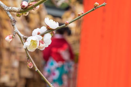 梅の花「京都に咲く梅の花」:スマホ壁紙(11)