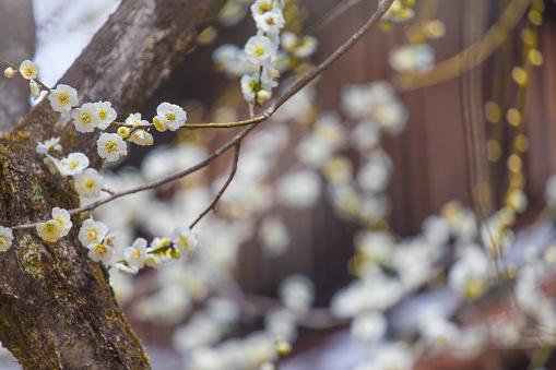 梅の花「京都に咲く梅の花」:スマホ壁紙(14)