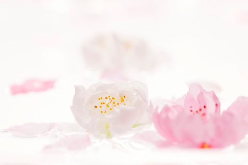梅の花「Plum blossoms in water」:スマホ壁紙(13)