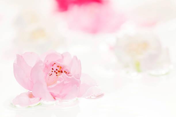 Plum blossoms in water:スマホ壁紙(壁紙.com)