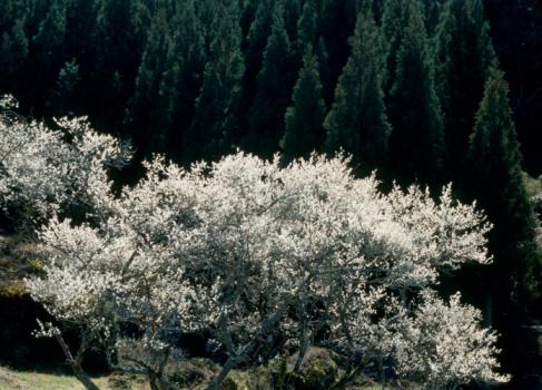 梅の花「Plum Blossoms, Kaore, Shinjo, Aichi, Japan」:スマホ壁紙(5)