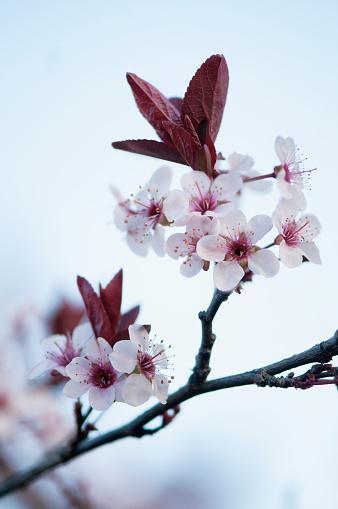 梅の花「Plum Blossom」:スマホ壁紙(14)