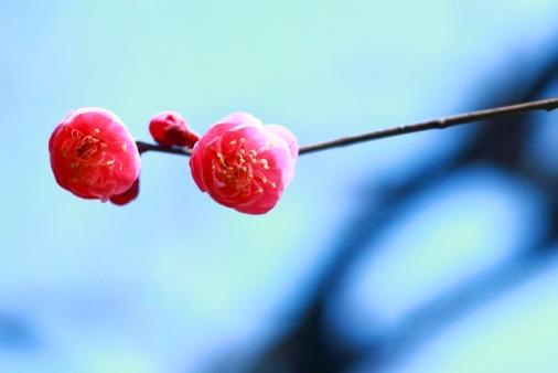梅の花「Plum Blossoms」:スマホ壁紙(8)