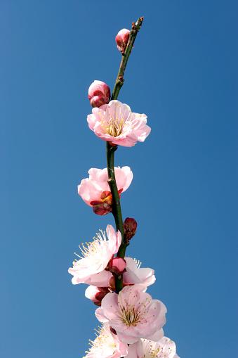 梅の花「Plum blossoms」:スマホ壁紙(12)