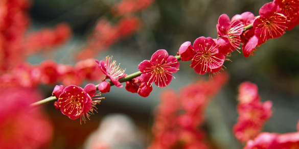梅の花「Plum blossoms (Prunus sp.) close-up」:スマホ壁紙(14)