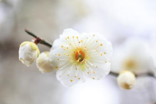 梅の花「Plum blossoms, close-up」:スマホ壁紙(7)