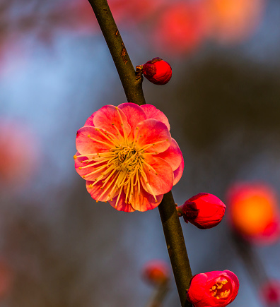 梅の花「Plum Blossom, West Lake Jiangsu Province, China」:スマホ壁紙(12)