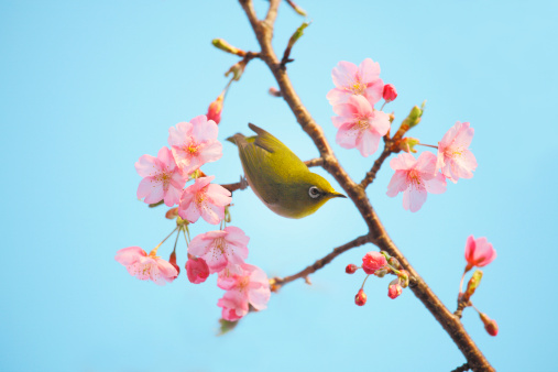 梅の花「Plum blossoms and Japanese White-eye, Shizuoka Prefecture, Japan」:スマホ壁紙(2)