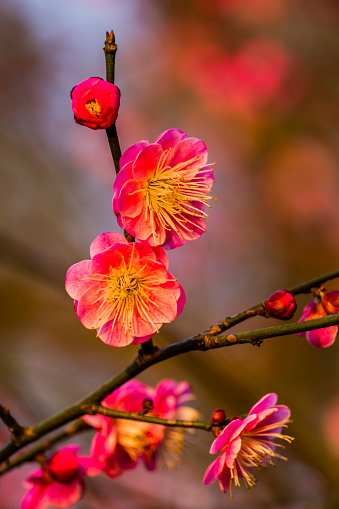 梅「Plum Blossoms (Prunus Mume), West Lake, Jiangsu Province, China」:スマホ壁紙(2)
