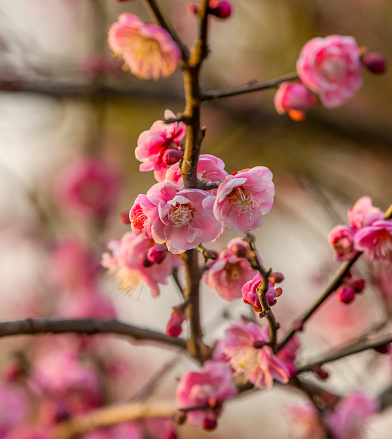 梅の花「Plum Blossoms, West Lake, Jiangsu Province, China」:スマホ壁紙(18)