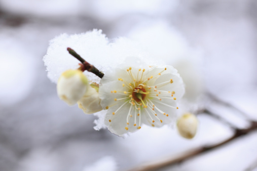 梅「Plum blossoms and snow, close-up」:スマホ壁紙(9)