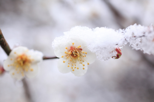 梅の花「Plum blossoms and snow, close-up」:スマホ壁紙(13)