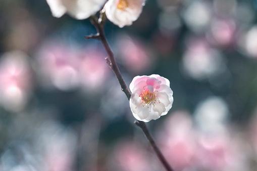 梅の花「Plum blossom」:スマホ壁紙(3)