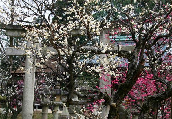 梅の花「Plum Blossom At Kitano Tenmangu Shrine」:写真・画像(6)[壁紙.com]