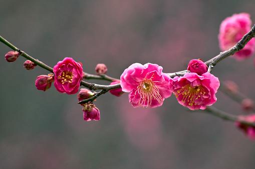 梅の花「Plum blossoms and buds on branch, close-up」:スマホ壁紙(18)
