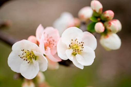 梅の花「Plum Blossoms, Yokohama, Kanagawa Prefecture, Japan」:スマホ壁紙(8)