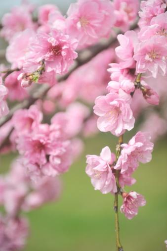 梅の花「Plum blossoms, Saitama Prefecture, Honshu, Japan」:スマホ壁紙(18)