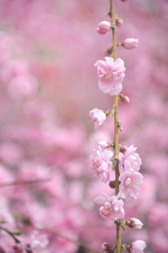 梅の花「Plum blossoms, Saitama Prefecture, Honshu, Japan」:スマホ壁紙(17)