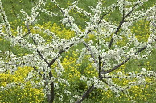 梅の花「Plum Blossoms And Rape Blossoms」:スマホ壁紙(4)