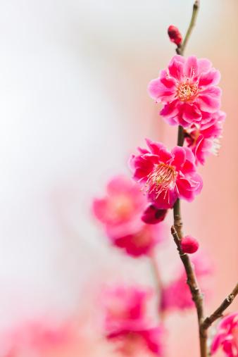 梅の花「梅の花」:スマホ壁紙(6)