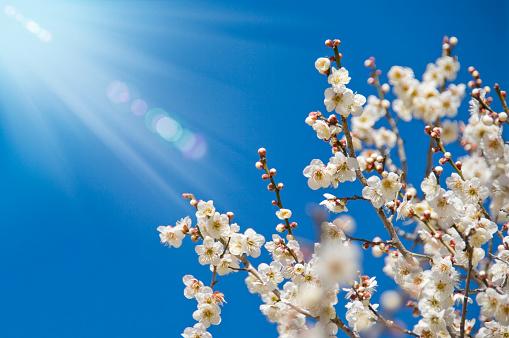 梅の花「Plum blossoms」:スマホ壁紙(7)