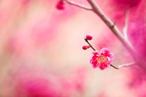 梅「梅の花」:スマホ壁紙(11)