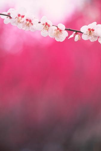 梅の花「梅の花」:スマホ壁紙(17)