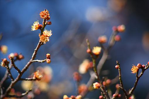 梅の花「Plum blossoms」:スマホ壁紙(2)