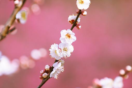 梅の花「Plum blossoms, Koshikawa Botanical Gardens, Tokyo, Japan」:スマホ壁紙(1)