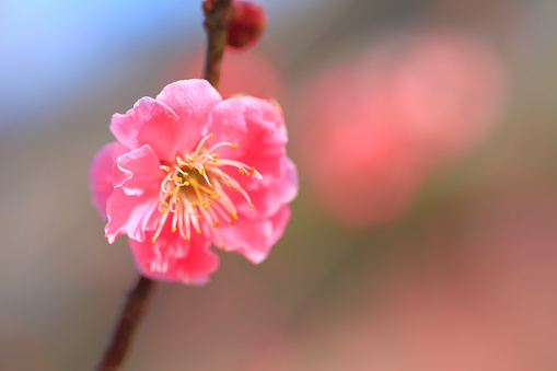 Plum blossom「Plum Blossoms」:スマホ壁紙(6)
