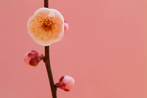 Plum blossom:スマホ壁紙(壁紙.com)