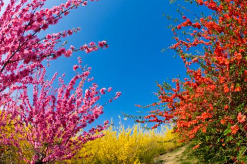 梅の花「Plum blossoms and Forsythia」:スマホ壁紙(11)