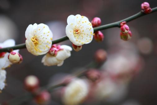 梅の花「Plum Blossoms, Bunkyo Ward, Tokyo Prefecture, Japan」:スマホ壁紙(7)