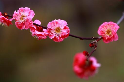 梅の花「Plum Blossoms, Bunkyo Ward, Tokyo Prefecture, Japan」:スマホ壁紙(3)