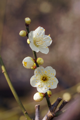 梅の花「Plum blossoms」:スマホ壁紙(3)
