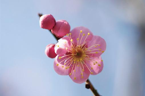 梅の花「Plum blossoms」:スマホ壁紙(19)