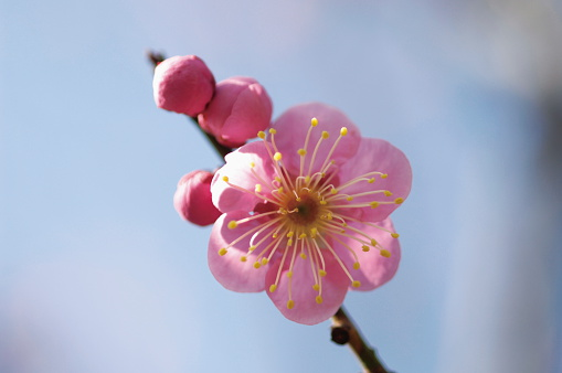 Plum blossom「Plum blossoms」:スマホ壁紙(16)