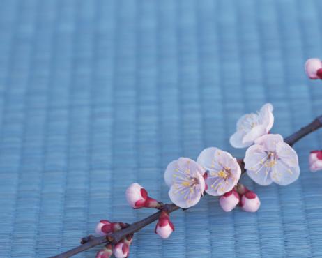 梅の花「Plum blossoms」:スマホ壁紙(0)