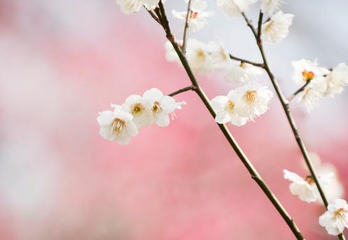 梅の花「梅、春」:スマホ壁紙(6)