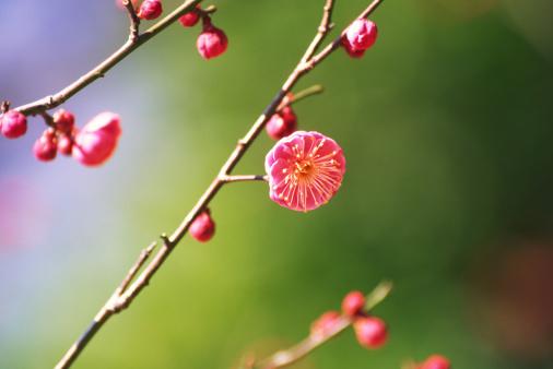 梅の花「梅、春」:スマホ壁紙(9)